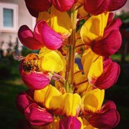 Ackerhummel fliegt Lupinenblüten an